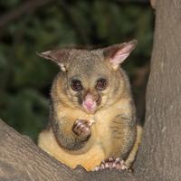 possums-trees-kallangur-mbrc
